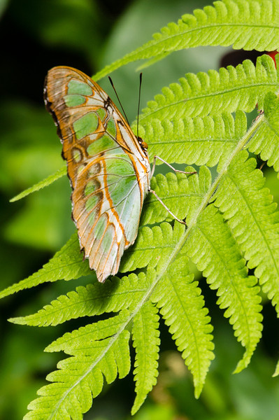 Malachite Butterfly<br /> A Malachite Bufferfly seen in the Butterfly Garden in Monteverde.