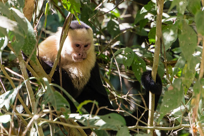 Capuchin Monkey A White-headed Capuchin Monkey seen along the trail in Manuel Antonio National Park, Costa Rica.