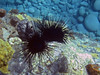 <b>Sea urchins</b>   (Mar 20, 2006, 01:55pm)