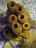 <b>Yellow tube sponge</b>   (Mar 20, 2006, 02:01pm)