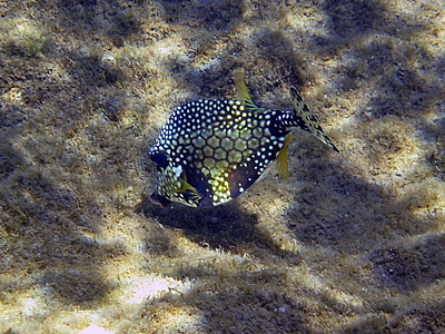 Smooth trunkfish   (Mar 20, 2006, 11:07am)  Caught feeding at Champagne Reef.