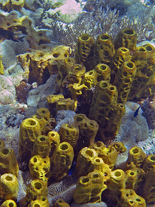 Tube sponges and anemones   (Mar 20, 2006, 02:03pm)  The sun anemones were all around this cluster of yellow tube sponges from just off of Scott's Head.