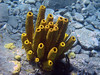 <b>Yellow tube sponge cluster</b>   (Mar 20, 2006, 01:50pm)