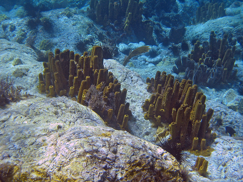 <b>Multiple clusters of tube sponges</b>   (Mar 20, 2006, 02:01pm)  <p align=left>Lots and lost of tube sponges.  These creatures were seen all over the area just north of Scott's Head peninsula.</p>