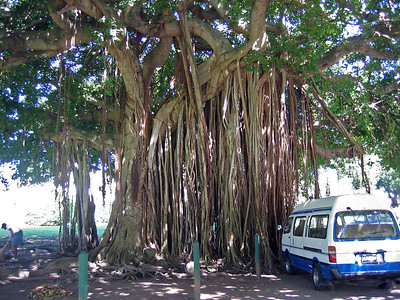 Banyan Tree in the Roseau botanical gardens   (Mar 20, 2006, 10:02am)  This is a Banyan Tree (also known as a Red Ficus or Ficus benghalensis), which we saw along the road through the botanical gardens in Roseau.  The aerial roots definitely make this tree stand out.