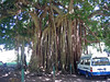 <b>Banyan Tree in the Roseau botanical gardens</b>   (Mar 20, 2006, 10:02am)  <p align=left>This is a Banyan Tree (also known as a Red Ficus or <i>Ficus benghalensis</i>), which we saw along the road through the botanical gardens in Roseau.  The aerial roots definitely make this tree stand out.</p>