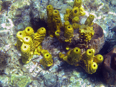 Yellow tube sponge   (Mar 20, 2006, 10:58am)  Tube sponges (especially yellow tub sponges) were very common at snorkeling depths in Dominica. These sponges were seen at Champagne Reef.