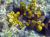 <b>Yellow tube sponge</b>   (Mar 20, 2006, 10:58am)  <p align=left>Tube sponges (especially yellow tub sponges) were very common at snorkeling depths in Dominica. These sponges were seen at Champagne Reef.</p>