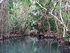 <b>Vines overhanging the Indian River</b>   (Mar 23, 2006, 03:08pm)  <p align=left>Here is a section of the Indian River, during out boat ride.  The water was calm, and the banks were teaming with birds and crabs.</p>
