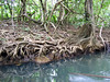 <b>Long exposed roots</b>   (Mar 23, 2006, 03:08pm)  <p align=left>The roots of many of the trees that line the Indian River are exposed like this one.</p>