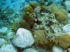 <b>Various corals urchins and anemones</b>   (Mar 23, 2006, 09:37am)  <p align=left>We stopped at two snorkeling spots just north of Portsmouth.  This from Cannon Site, a snorkeling spot in Douglas Bay, North of Prince Rupert's Bluff.</p>