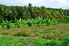 <b>Field of bananas and pineapples</b>   (Mar 24, 2006, 11:39am)  <p align=left>If you look closely you can see the blue banana bags and pineapples growing in the field.</p>