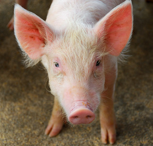 A cute piglet face   (Mar 24, 2006, 11:18am)  This pig was on a farm that we visited in Southeastern Dominica.