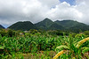 <b>Mountains behind banana fields</b>   (Mar 24, 2006, 10:45am)  <p align=left>If you look closely at this picture, you should be able to see the blue bags that indicate that this is a banana field.</p>