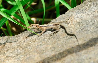 Lizard on a rock   (Mar 24, 2006, 11:11am)