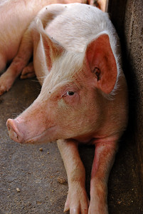 Posing for the camera   (Mar 24, 2006, 11:14am)  This pig was on a farm that we visited in Southeastern Dominica.