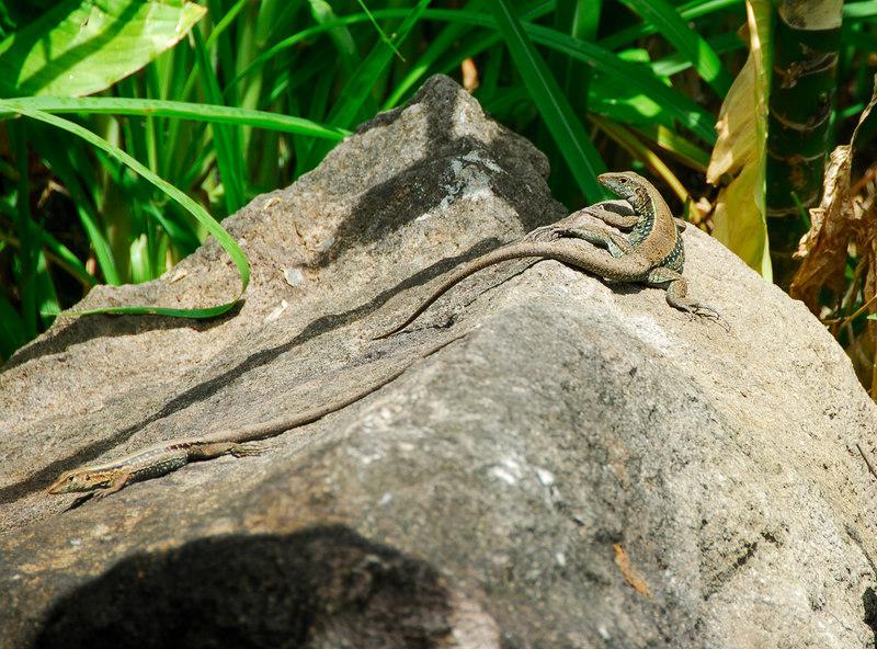 <b>Two lizards on a rock</b>   (Mar 24, 2006, 11:10am)