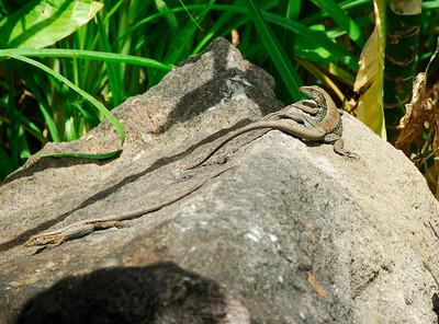 Two lizards on a rock   (Mar 24, 2006, 11:10am)