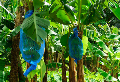 Blue banana bag plantation   (Mar 24, 2006, 10:30am)  On Dominica, just like on St. Vincent, they grow bananas inside blue bags to make sure the bananas are perfect for the European market..
