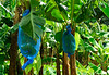 <b>Blue banana bag plantation</b>   (Mar 24, 2006, 10:30am)  <p align=left>On Dominica, just like on St. Vincent, they grow bananas inside blue bags to make sure the bananas are perfect for the European market..</p>