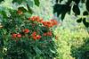 <b>Shrub with flowers</b>   (Mar 25, 2006, 05:03pm)