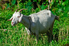 <b>Goat by the side of the road</b>   (Mar 25, 2006, 04:25pm)