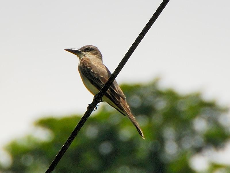 <b>Gray king bird</b>   (Mar 25, 2006, 12:29pm)