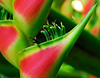 <b>Heliconia blossom close-up</b>   (Mar 25, 2006, 08:28am)