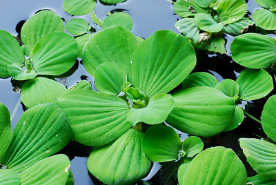 Plants floating on pools   (Mar 25, 2006, 07:24am)