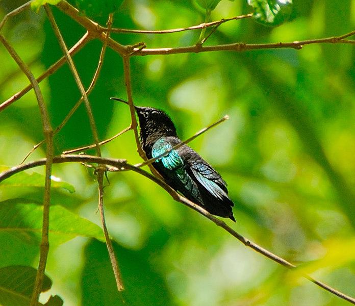 <b>Green throated Carib</b>   (Mar 25, 2006, 01:19pm)