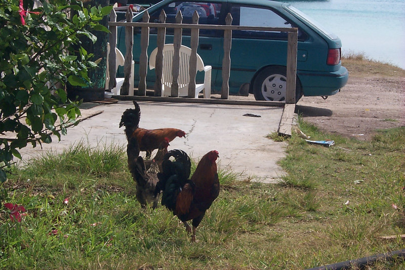 <b>Chickens Roam Everywhere</b>   (Apr 16, 2000, 03:10pm)