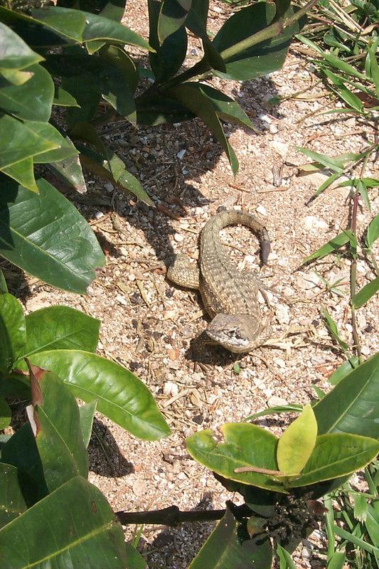 <b>Lizard Seen a Little Closer</b>   (Apr 20, 2000, 11:23am)