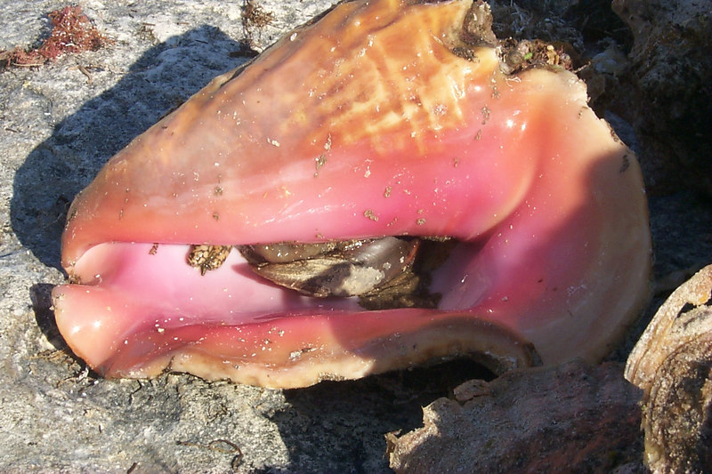 <b>Live Conch Still in Shell</b>   (Apr 20, 2000, 05:17pm)