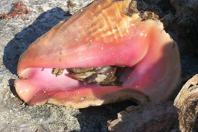Live Conch Still in Shell   (Apr 20, 2000, 05:17pm)