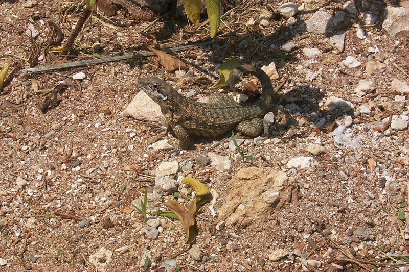 <b>Another Lizard</b>   (Apr 20, 2000, 11:26am)