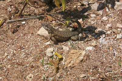 Another Lizard   (Apr 20, 2000, 11:26am)