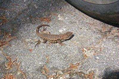 Lizard Next To Car   (Apr 21, 2000, 10:44am)