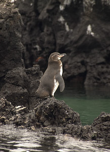 Galapagos penguin   (Dec 10, 2005, 01:37pm)