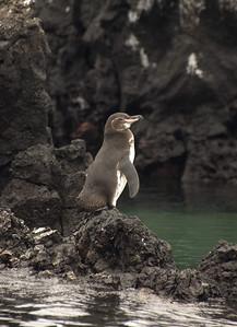 Galapagos penguin   (Dec 10, 2005, 01:37pm)