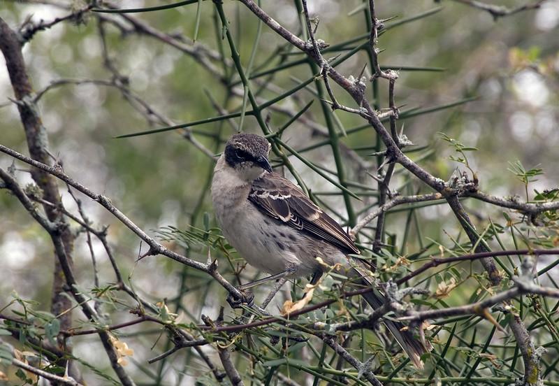 <b>Mockingbird on Isabela Island</b>   (Dec 10, 2005, 12:30pm)