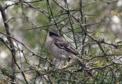 Mockingbird on Isabela Island   (Dec 10, 2005, 12:30pm)