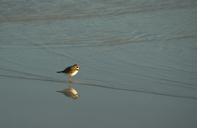 Semi-palmated plover and reflection   (Dec 09, 2005, 05:26pm)