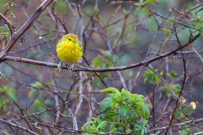 Yellow warbler   (Dec 09, 2005, 10:05am)