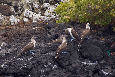 More blue-footed boobies   (Dec 10, 2005, 01:27pm)