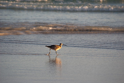 Whimbrel in shallow water   (Dec 09, 2005, 05:26pm)