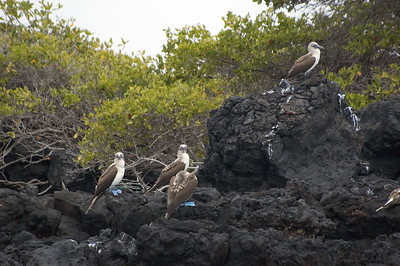 Blue-footed boobies   (Dec 10, 2005, 01:27pm)
