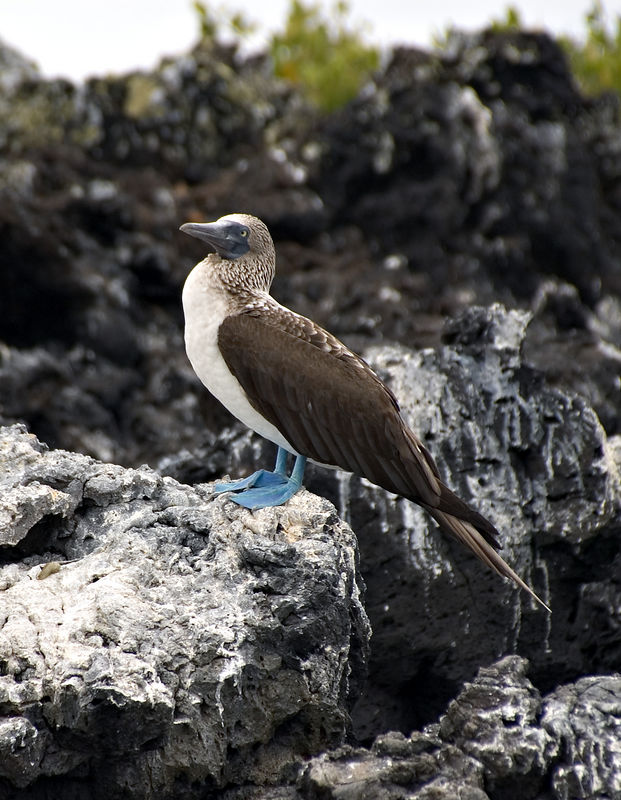 <b>Single blue-footed boobie</b>   (Dec 10, 2005, 01:35pm)
