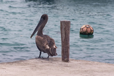 Pelican on corner of dock   (Dec 10, 2005, 11:34am)