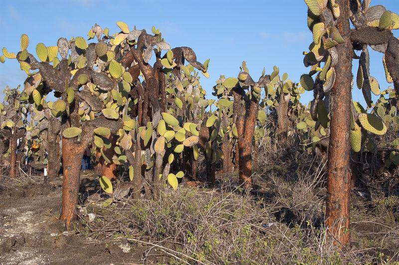 <b>Cactus at Tortuga Bay beach</b>   (Dec 09, 2005, 04:55pm)