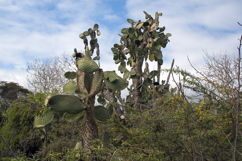 <b>Cactus trees on Santa Cruz</b>   (Dec 09, 2005, 02:36pm)